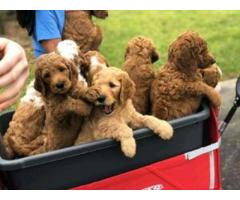 Adorable Mini-Golden Doodles for sale